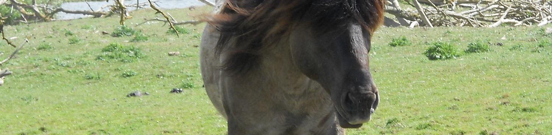 Blauwe Hengst: kpni centrum voor paarden